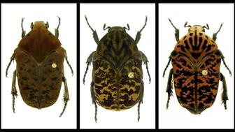 "This combination of undated photos provided by Brett Ratcliffe in December 2018 shows, from left, Gymnetis drogoni, Gymnetis rhaegali and Gymnetis viserioni beetles from South America. Ratcliffe named three of his eight newest beetle discoveries after the dragons from the HBO series ""Game of Thrones"" and George R.R. Martin book series ""A Song of Ice and Fire."""