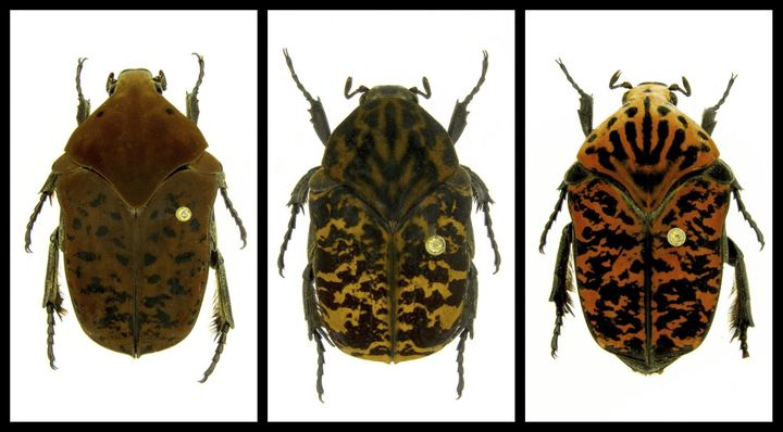 From the left are newly named beetles Gymnetis drogoni, Gymnetis rhaegali and Gymnetis viserioni, all from South America.&nbs