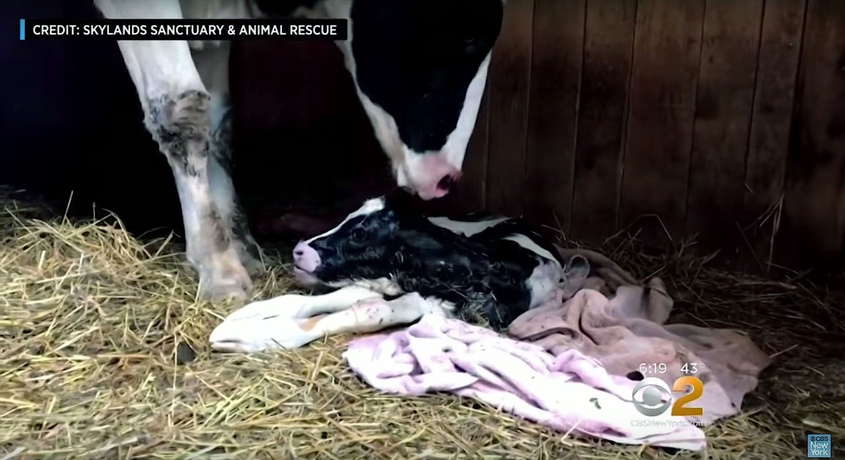 A cow that escaped from a slaughterhouse-bound truck gave birth to a calf.