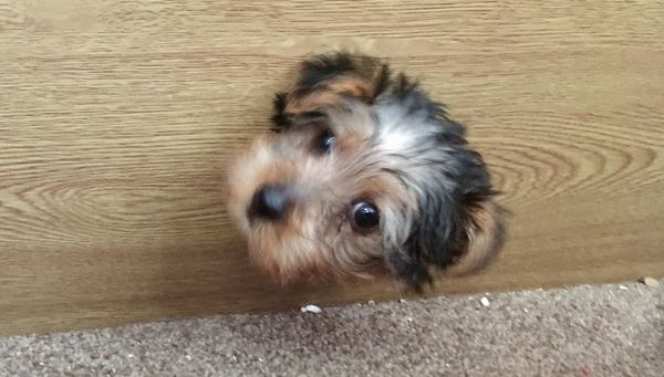 Verity O'Neill's 8-week-old Yorkshire terrier puppy, Ringo Starr, got his head stuck inside a wooden television ca