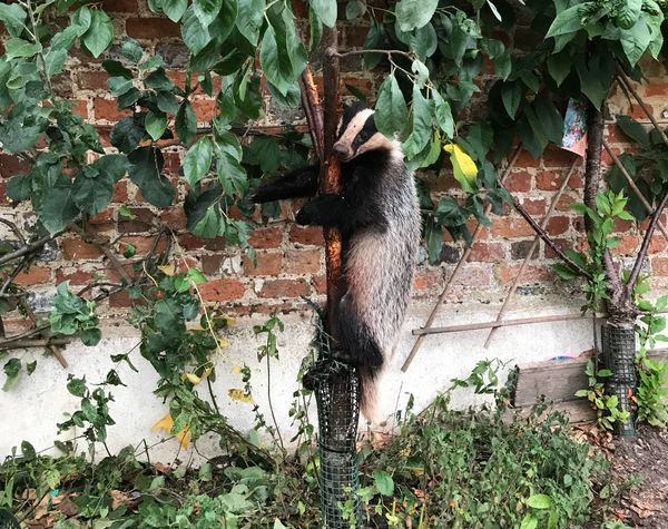 This badger only wanted to eat some fruit, but ended up getting wedged between branches in London in August.