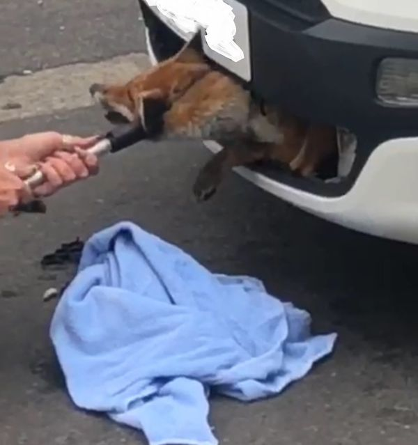 This fox incredibly suffered no serious injuries after spending 12 hours trapped inside a car's front grille in Hertfordshire