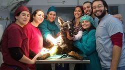 Opération chirurgicale réussie pour Fritz, le chien héros de l'opération antiterroriste de