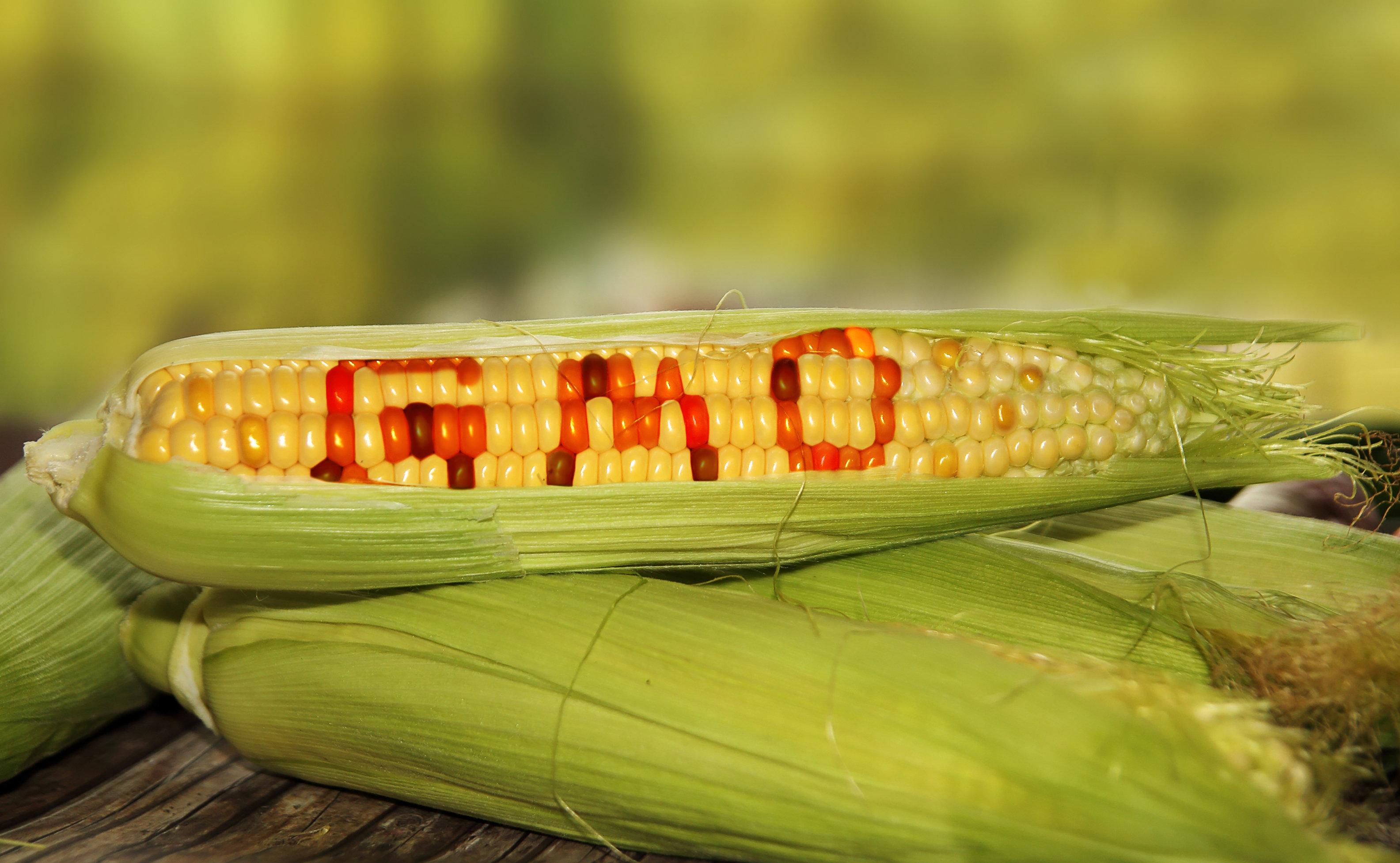 Νέα γενετική τροποποίηση φυτών στις ΗΠΑ αύξησε την ανάπτυξη τους κατά 40% - Στόχος τα αγροτικά