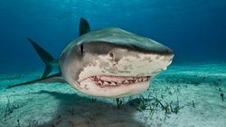 Η τρομακτική αλήθεια για τον καρχαρία-τίγρη. Γίνεται κανίβαλος από την κοιλιά της μάνας