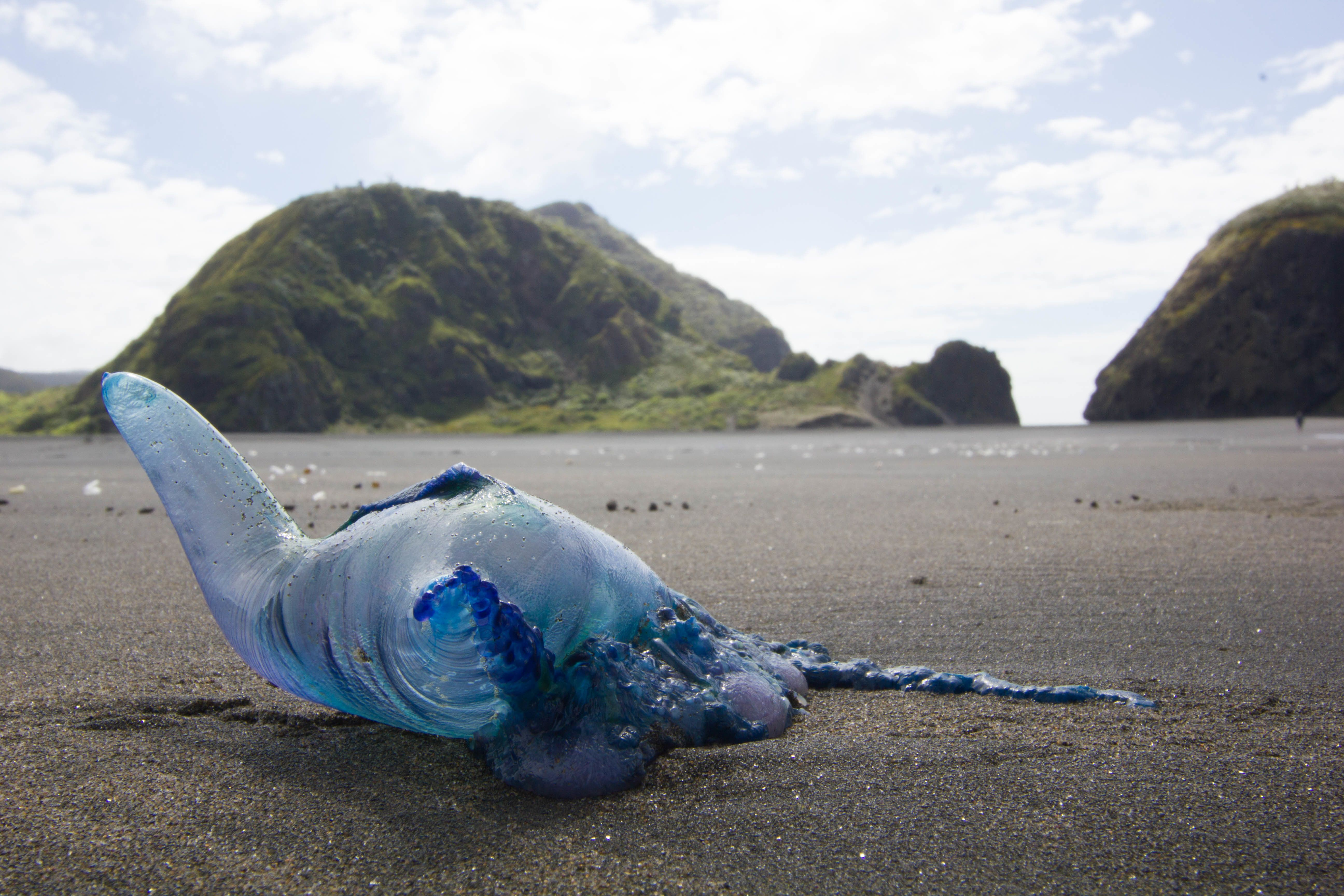 Abluebottle jellyfish pictured on a beach in New