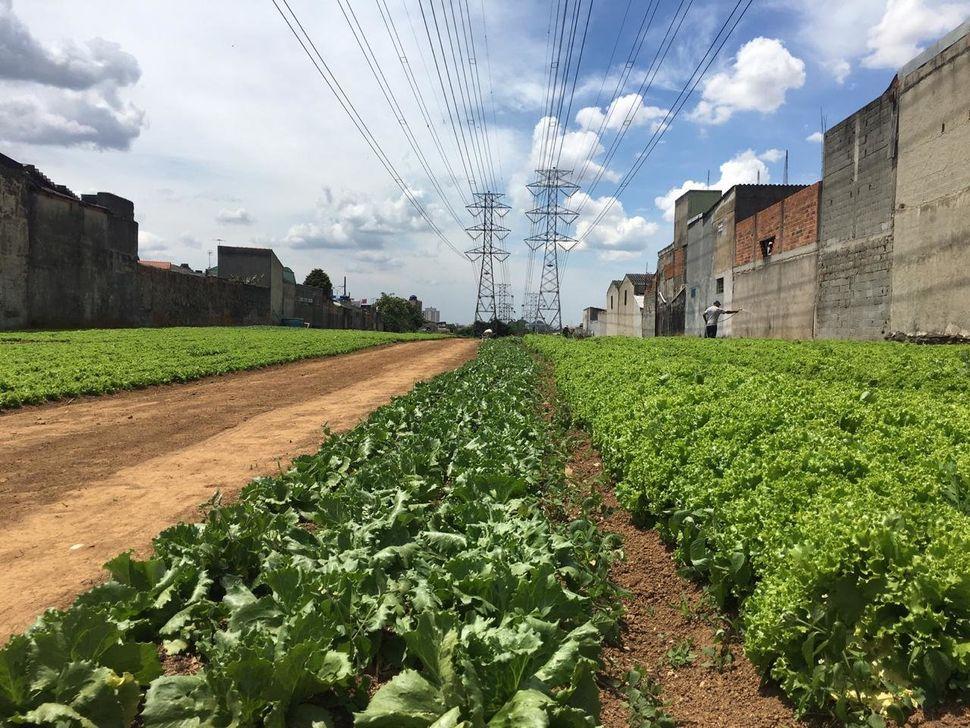 Pés de alface da horta da Cidades sem Fome em área de torres de transmissão.