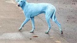 O que está fazendo com que os cachorros fiquem com pelos azuis na