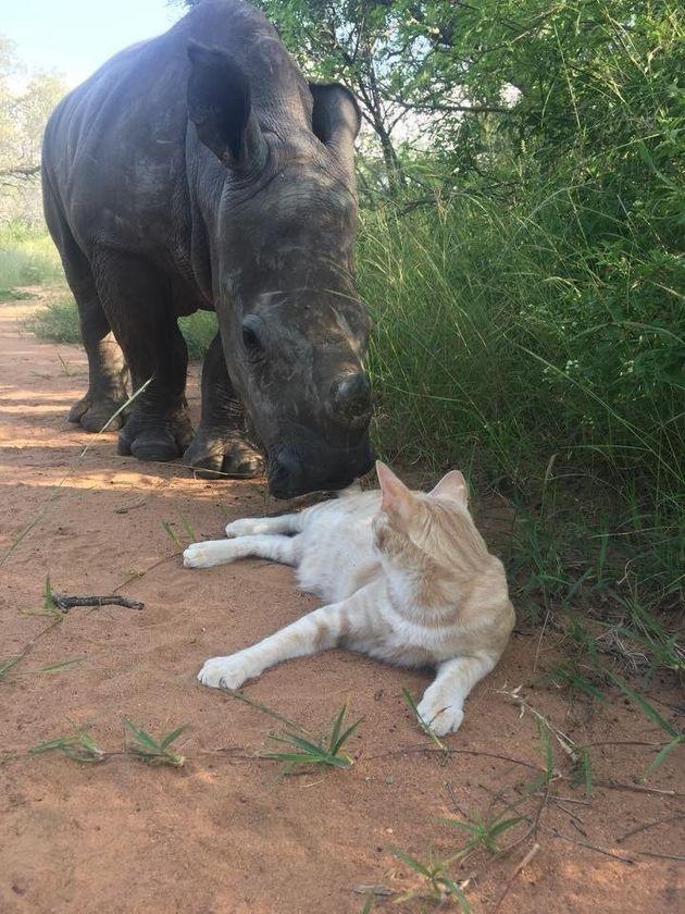 Este rinoceronte perdeu a mãe e foi adotado por um