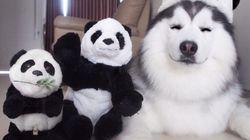 Este é Maru, o catioríneo mais apaixonado por pandas de que se tem