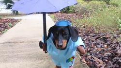 Este é Crusoe, o salsichinha que está muito preparado para quando a chuva