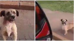 Para não abandonar o dono, este cachorrinho seguiu ambulância até