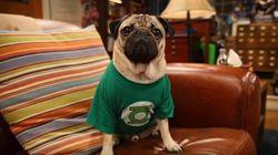 Esta abertura de 'Big Bang Theory' estrelada por Doug The Pug é fofínea