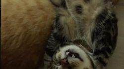 Conheça Cengo, o gato que dorme em QUALQUER