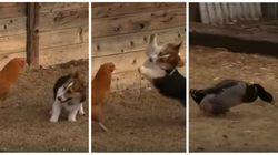 Cachorro, galinha e pato na fazenda: Aqui está a confusão que vai melhorar o seu
