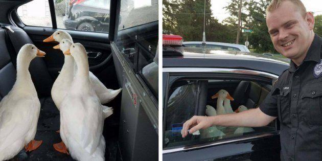 Estes patos 'arruaceiros' arranjaram a maior confusão com a polícia da