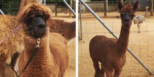 Esta alpaca ficou realmente orgulhosa de seu novo