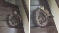 Este gatíneo está enjoado de viver e carregou sua caminha pela escada para dormir em