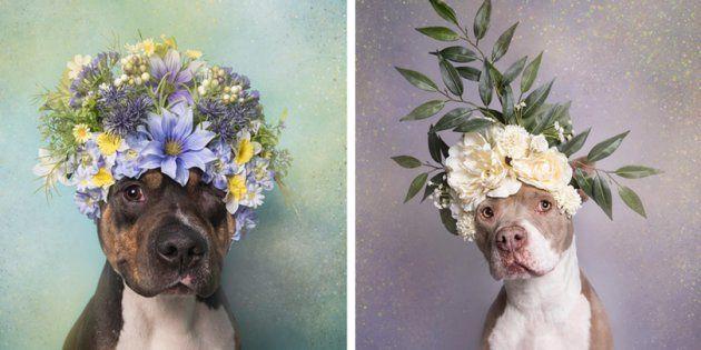 Uma fotógrafa resolveu fazer um ensaio de pit bulls com flores. Este é o