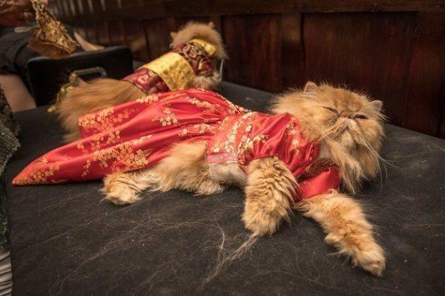 Desfiles de moda são divertidos. Mas um desfile de gatos é ainda
