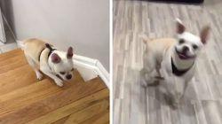 Este bulldog francês está muito orgulhoso por subir as escadas pela 1ª