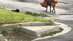 Foto de cachorro carregando saco de ração após furacão no Texas