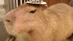 Aqui estão 26 imagens que mostram por que capivaras são os melhores animais do