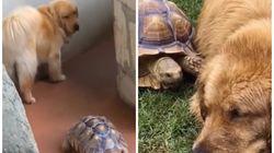 Esta tartaruga e este golden retriever são mais que amigos, são