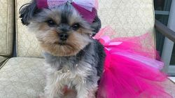 Esta é Mia, a yorkshire que ama rosa e tem o quarto mais estiloso que o