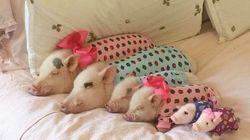 Apenas a imagem de 4 porquinhos vestidos com pijamas em uma festa do