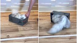 Este gatíneo adora viver a vida perigosamente a bordo de sua... CAIXA DE