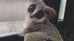 Você vai ficar hipnotizado com esse primata se deliciando com uma escova de