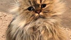 Este é o gatinho mais cansado do mundo - e representa todos nós nesta