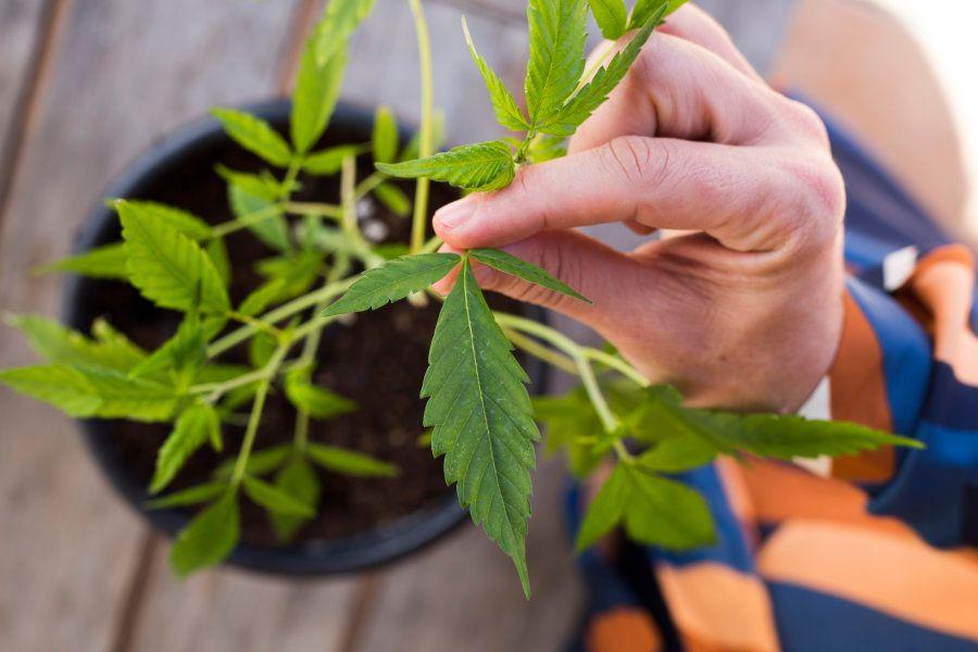 A Apepi também ensina famílias a plantar a cannabis, faz a ponte entre médicos e pacientes e faz o trabalho...