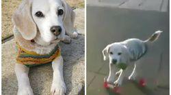Esta é Purin, a beagle que manda benzaço no