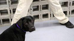 A história da labradora que foi 'demitida' da CIA por falta de interesse no