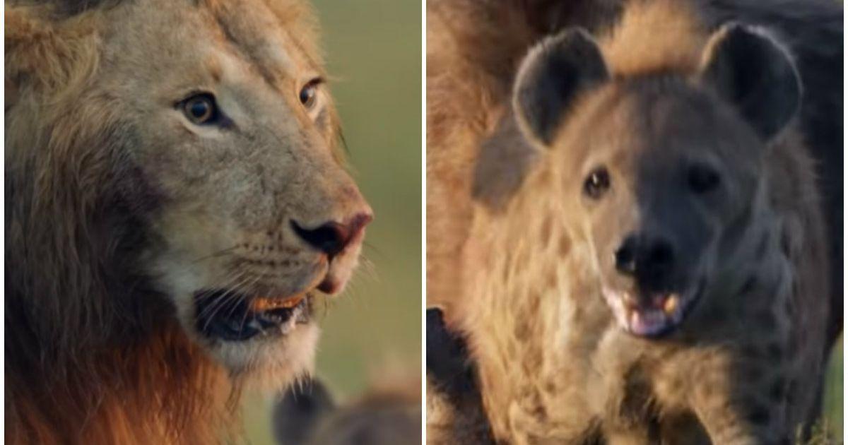 Um Leao Contra Mais De 20 Hienas O Video De Natureza Mais