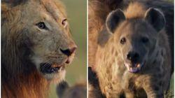 Um leão contra mais de 20 hienas: O vídeo de natureza mais eletrizante que você verá