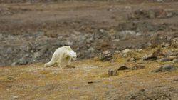 Este é o resultado das mudanças climáticas: Urso polar faminto luta para sobreviver revirando