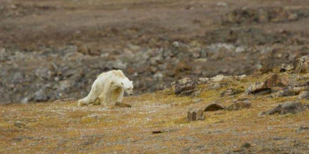 Urso polar faminto luta para sobreviver revirando