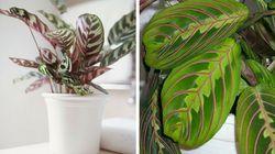 Maranta e calathea: As plantas que transformam os ambientes