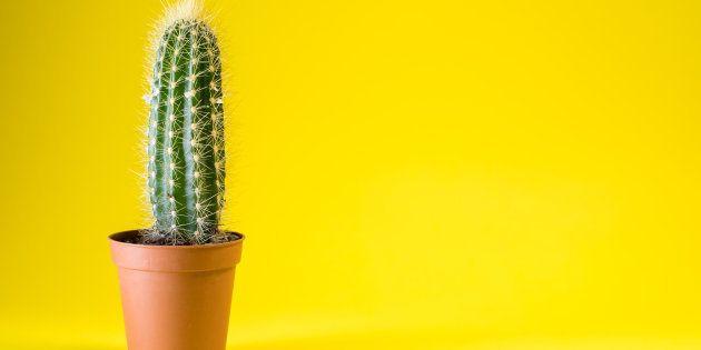 Os cactus são plantas resistentes e que precisam de poucos cuidados.