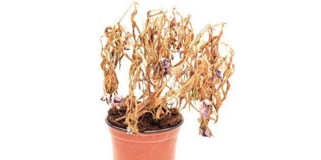 Aclorose é um sinal de que a planta está