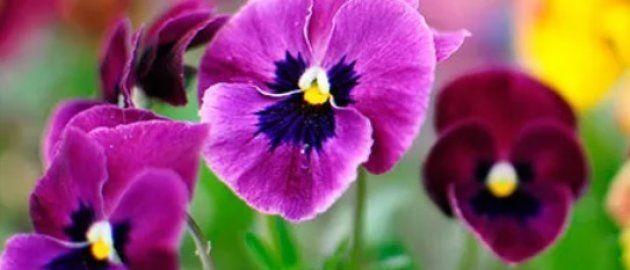 Sementes de orquídeas, violetas ou amor-perfeito são ótimas para cultivar junto com quem você quer fazer...