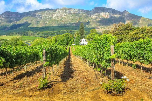 Parreiras na região vinícola de Stellenbosch, com o cenário da Montanha Thelema, na África do