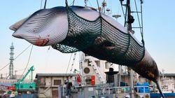 Após 30 anos, Japão decide retomar caça de baleias para fins