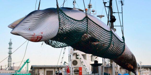 Japão decide retomar caça de baleias para fins