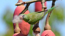 A matança de periquitos em Manaus é um problema ambiental