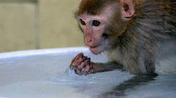 Polícia Ambiental suspeita que macacos estão sendo mortos para evitar febre