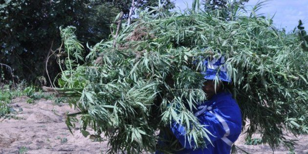 Os produtores de cannabis, camuflada nas roças de mandioca, associaram-se ao crime